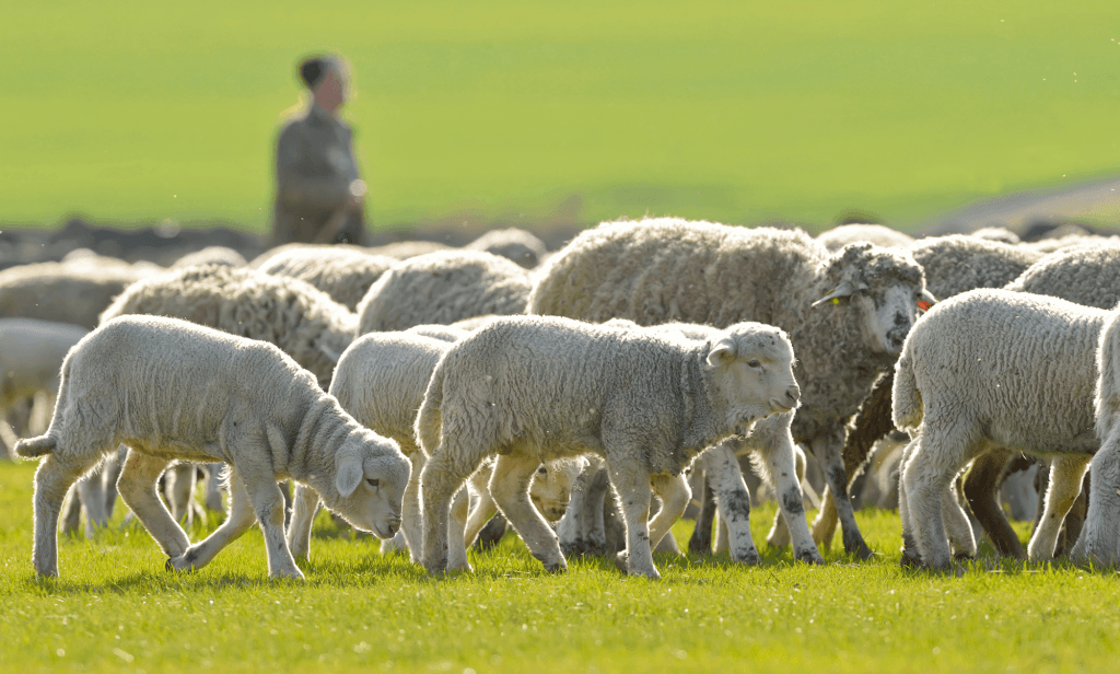 Put-in-Bay Sheep